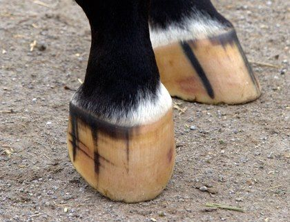 How often do you clean your horse's hooves? – 5 Reasons to do it every day!